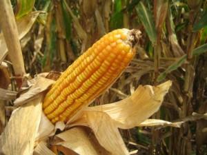 Alimentos-saludables-maiz-300x225 3 Alimentos SALUDABLES, Supuestamente...