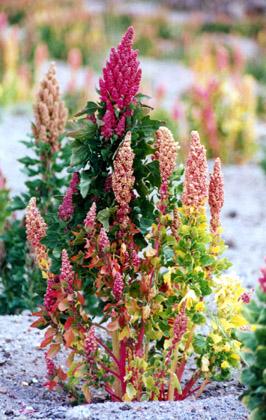 quinoa-flor Ensalada de Quínoa y Verduras | Fácil - Rápida y Saludable Ensalada de Quinua